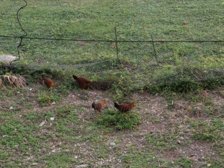 Chickens chickens chickens.